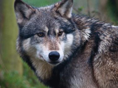 FNP Fryslan Wolfmin2