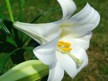 FNP Fryslan Lilium longiflorum easter lily1