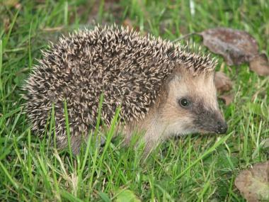 FNP Fryslan Hedgehog germany0908